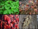 poison Ivy pictures