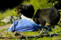 Bears wrecking a tent