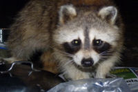 Raccoon in camp