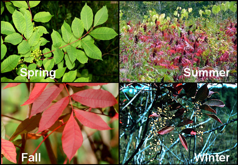 What does poison ivy look like in the fall